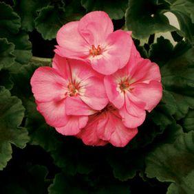 Anne - Lavender Pink
