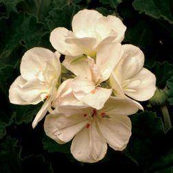 Quaker - Dark Leaf White