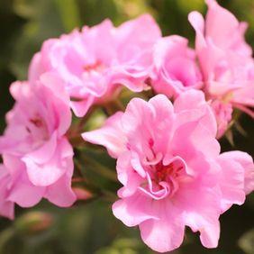 Serenade Bright Pink