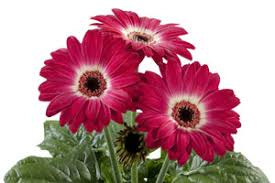 Gerbera- FloriLine Eyecatcher Purple Dark Eye