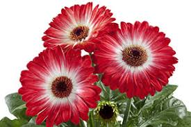 Gerbera- FloriLine Eyecatcher Red Dark Eye