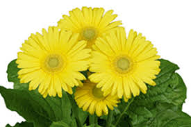 Gerbera- FloriLine Midi Yellow Light Eye