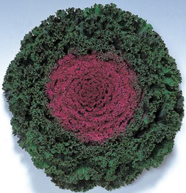 Kamome Red Kale