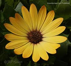 Osteospermum- Margarita Yellow