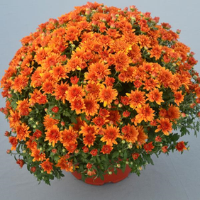 Perfectly Orange Mum